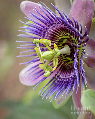 Photograph - Pretty In Pink And Purple Passiflora by Sabrina L Ryan