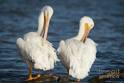 Photograph - Pretty Pelicans by David Cutts