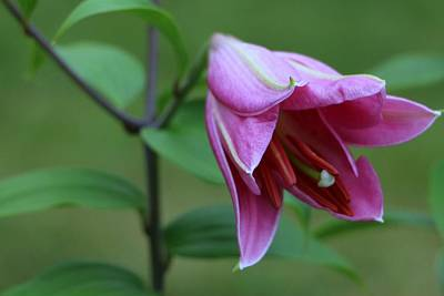 Photograph - Pretty Pink Lily by The Art Of Marilyn Ridoutt-Greene