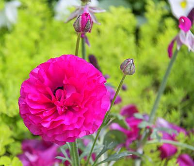 Impressionist Landscapes - Pretty Pink Ranunculus by Teresa Mucha