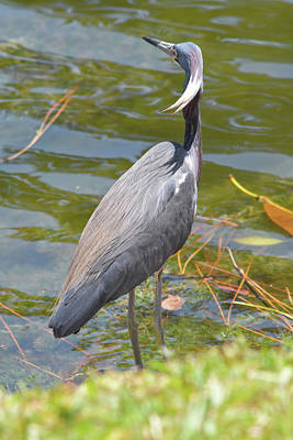 Photograph - Pretty Tricolored Heron by William Tasker