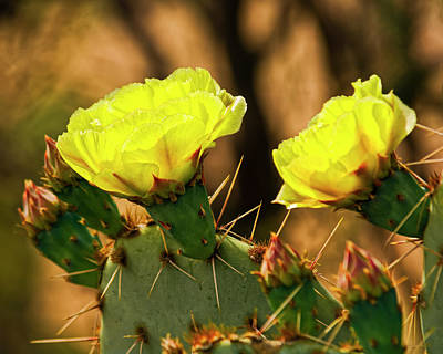 Mark Myhaver Rights Managed Images - Prickly Pear Flowers h49 Royalty-Free Image by Mark Myhaver