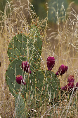 Photograph - Prickly Pear Fruit by David Cutts