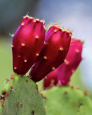 Mark Myhaver Rights Managed Images - Prickly Pear Fruit v1939 Royalty-Free Image by Mark Myhaver