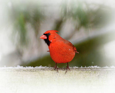 Photograph - Prince Charming - Male Northern Cardinal  by Kerri Farley