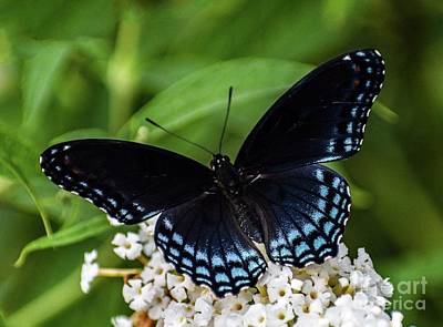 All American - Pristine Red-spotted Purple by Cindy Treger
