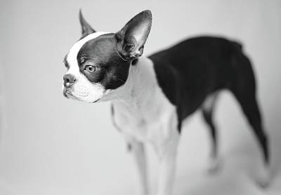 Photograph - Profile of a Boston Terrier by Giovanni Arroyo