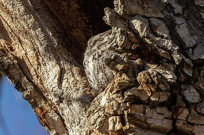 Photograph - Profile Of A Sleeping Screech Owl by Tony Hake