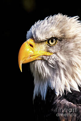 Nikki Vig Royalty-Free and Rights-Managed Images - Profile of Bald Eagle by Nikki Vig