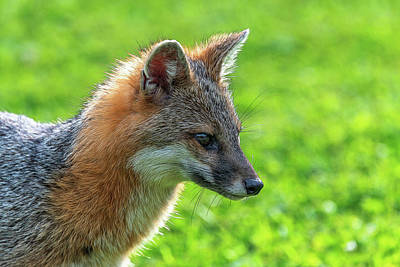 Photograph - Profile Of Grey Fox Paintography by Dan Friend
