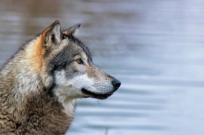 Photograph - Profile Portrait Of Wolf by Dan Friend