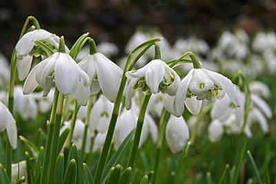 Photograph - Profusion Of Snowdrops by Gill Billington