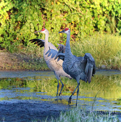Photograph - Promenading Sandhill Cranes by Carol Groenen