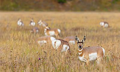 Photograph - Prong Horns by Mark Harrington