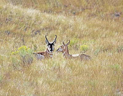 Photograph - Pronghorn Antelope Love by Jennie Marie Schell