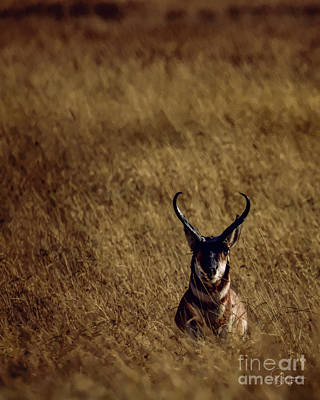 Photograph - Pronghorn by Doug Sturgess