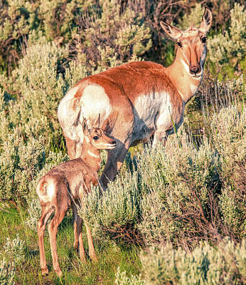 Photograph - Pronghorn Mother by Dan Sproul