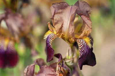 Photograph - Prosper Laugie 1. The Beauty Of Irises by Jenny Rainbow