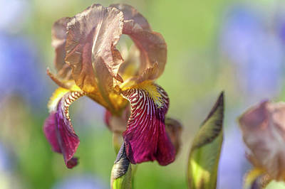 Photograph - Prosper Laugie. The Beauty Of Irises by Jenny Rainbow
