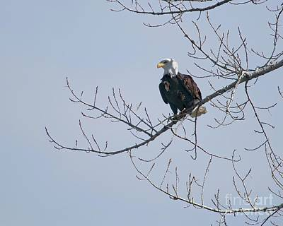 Photograph - Proud Eagle by Jon Burch Photography