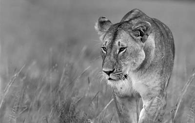 Photograph - Prowling Lioness by Wldavies