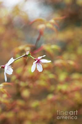 Photograph - Prunus Incisa Fujimae Blossom by Tim Gainey