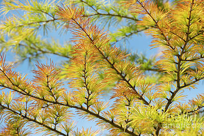 Photograph - Chinese Golden Larch by Tim Gainey