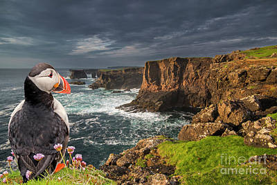 Photograph - Puffin At Eshaness, Scotland by Arterra Picture Library