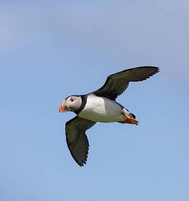 Photograph - Puffin Flyby by Peter Walkden