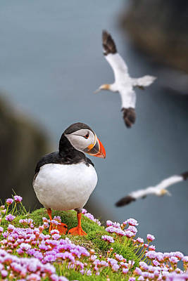 Photograph - Puffin In The Shetland Isles by Arterra Picture Library