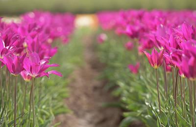 Photograph - Puple Tulip Field by Rebecca Cozart
