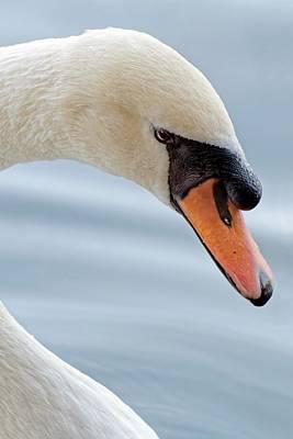 Photograph - Pure Elegance - Mute Swan by KJ Swan