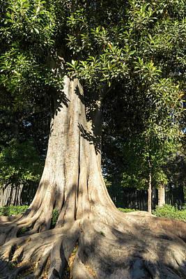 Photograph - Pure Power - A Giant Ficus Tree In Jardines De Murillo by Georgia Mizuleva