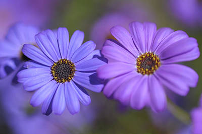 Photograph - Purple And Blue. Swan River Daisies  by Jenny Rainbow