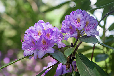 Photograph - Purple Azaleas Bloom 1 by Jenny Rainbow