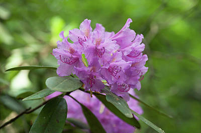 Photograph - Purple Azaleas Blooms by Jenny Rainbow