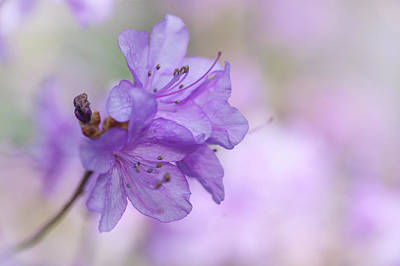 Photograph - Purple Bloom Of Rhododendron Dauricum 2 by Jenny Rainbow