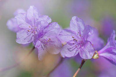 Photograph - Purple Bloom Of Rhododendron Dauricum 4 by Jenny Rainbow