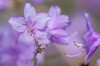 Photograph - Purple Bloom Of Rhododendron Dauricum 6 by Jenny Rainbow