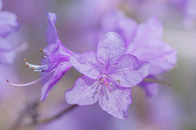 Photograph - Purple Bloom Of Rhododendron Dauricum 7 by Jenny Rainbow
