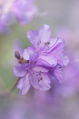 Photograph - Purple Bloom Of Rhododendron Dauricum 8 by Jenny Rainbow