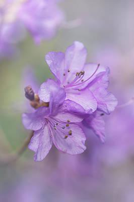 Unicorn Dust - Purple Bloom of Rhododendron Dauricum 8 by Jenny Rainbow