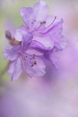Photograph - Purple Bloom Of Rhododendron Dauricum 9 by Jenny Rainbow