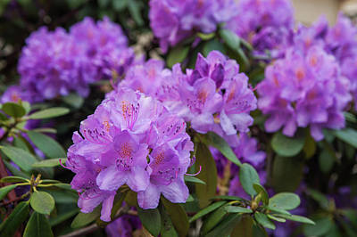 Photograph - Purple Bloom Of Rhododendrons 2 by Jenny Rainbow