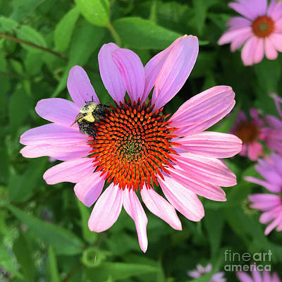 Photograph - Purple Coneflower 1 by Amy E Fraser