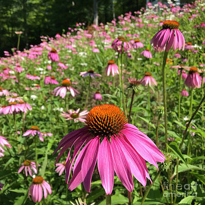 Photograph - Purple Coneflower 10 by Amy E Fraser