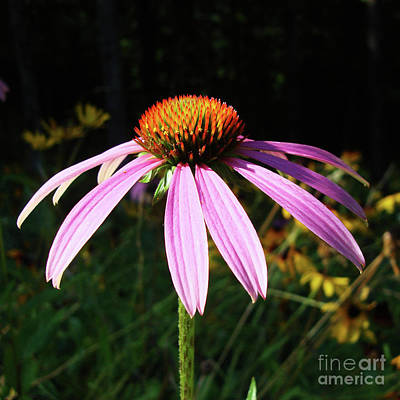 Photograph - Purple Coneflower 11 by Amy E Fraser