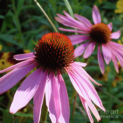 Photograph - Purple Coneflower 12 by Amy E Fraser