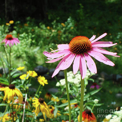 Photograph - Purple Coneflower 16 by Amy E Fraser