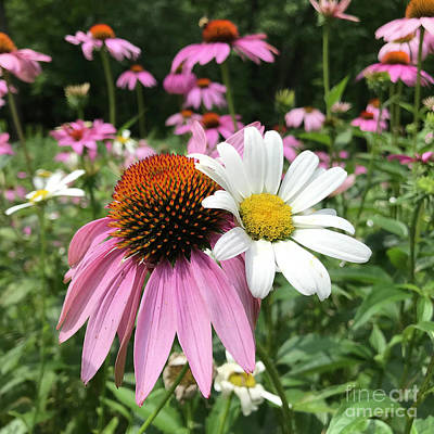 Photograph - Purple Coneflower 20 by Amy E Fraser